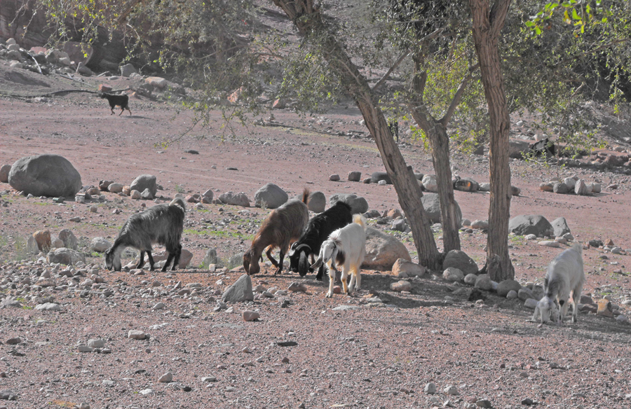 Goats grazing near Feynan Eco Lodge in the Dana Biosphere Reserve