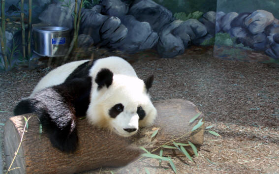 Panda bear at <h1>atlanta Zoo</h1>