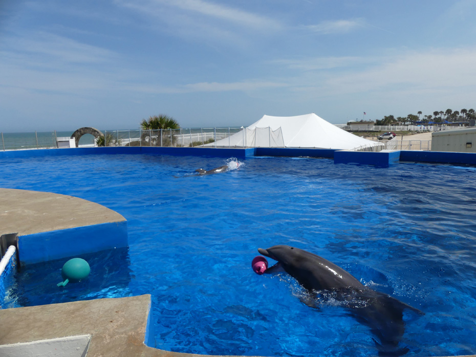 dolphin in pool with ball in mouth at marineland