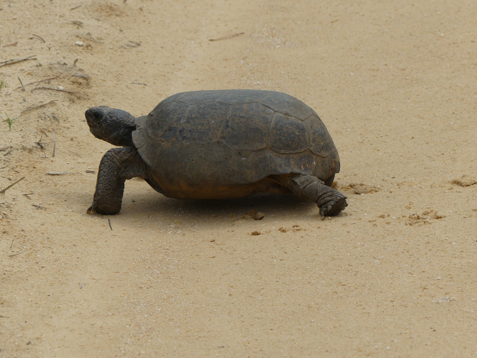 golpher turtle on dirt road